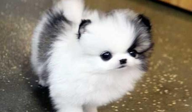 Două căței Pomeranian Awesome pentru adoptarea X-Mass