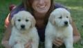 Bărbați și femele Golden Retriever Puppies disponibile