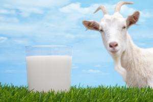 De ce este bine să bem lapte de capră?